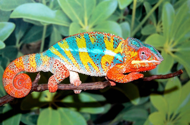 Panther Chameleon bunglon paling cantik warnanya di dunia