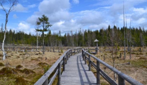 Spacerując po drewnianych kładkach, poznamy niezwykłe tajemnice poleskich torfowisk.