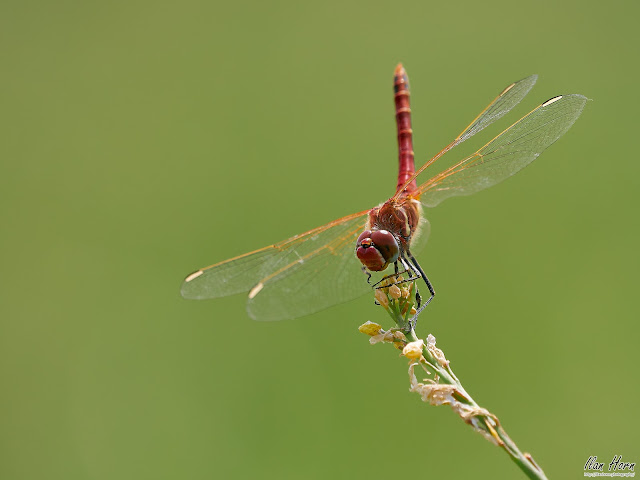 Dragonfly Attack Angle