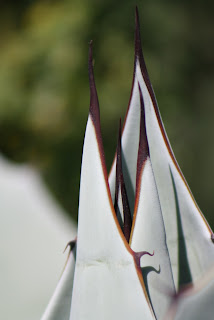 Whales Tongue Agave