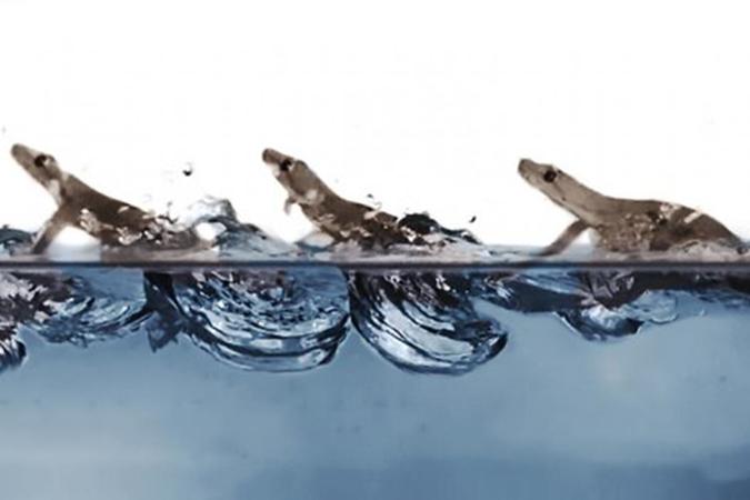 Penelitian Geckos Race Across the Water's Surface Using Multiple Mechanisms