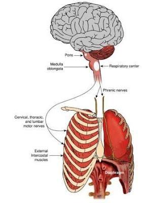 Regulation/Control of Respiratory system
