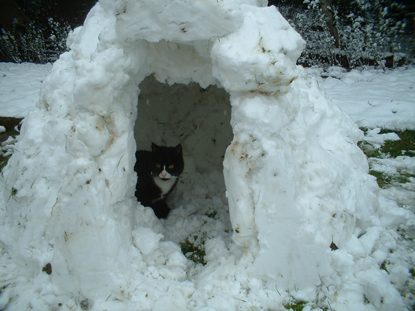 black and white cat in a homemade igloo