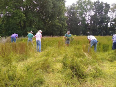 6 people in blue jeans, workshirts and caps harvest and bundle flax plants. A pile of plants is in the foreground