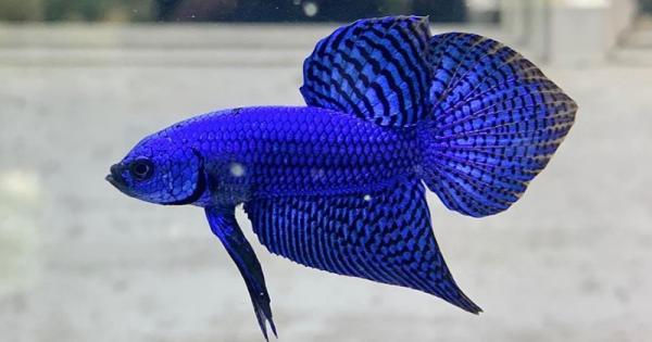20+ Jenis Ikan Cupang Cantik beserta Ciri-Ciri dan Gambarnya
