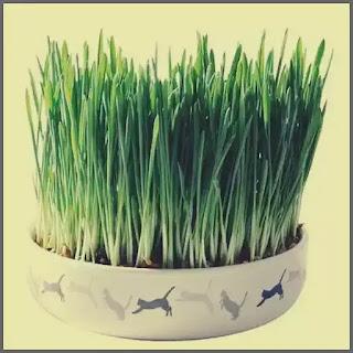 iarba speciala pentru pisici beneficii pret recomandari