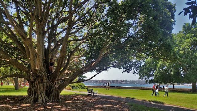 Royal Botanic Gardens albero gigante