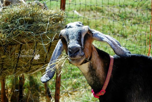 Goats for homestead self-sufficiency