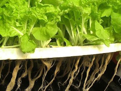 peluang tanaman hidroponik untuk petani dan pencinta tanaman
