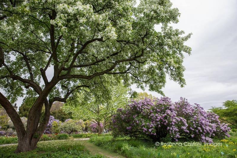 Manzano silvestre, Malus hupehensis y lila, Syringa x chinensis en Hermannshof park