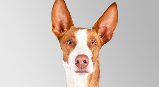 Everything about your Ibizan Hound