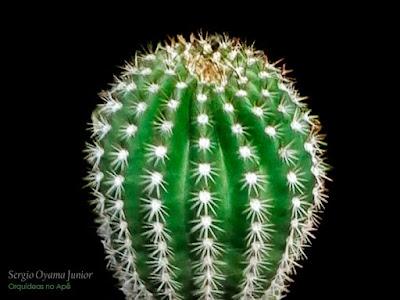 Cacto Echinopsis werdermannii
