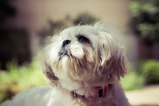 cães com hernia de disco
