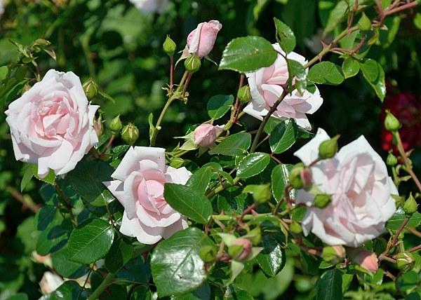 New Dawn сорт розы фото