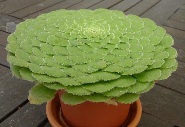 Nombre cient fico aeonium tabuliforme for Nombres de cactus y suculentas