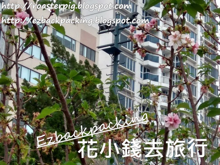 土瓜灣櫻花