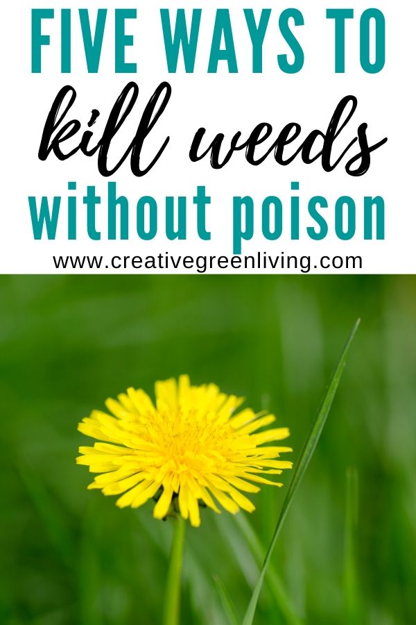 Five different nontoxic ways to kill weeds without RoundUp or other herbicide poisons. Includes easy DIY homemade weed killer spray recipe, ideas for getting rid of large amounts of weeds and how to kill weeds growing in the cracks of your sidewalk or driveway. #weedkiller #howtokillweeds #gardening #nontoxicgardening #organicgardening