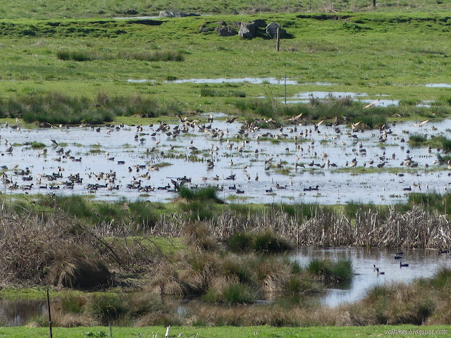 birds on the pond