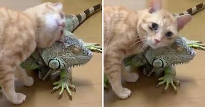 Gato cariñoso usa las escamas de su amiga iguana para rascarse