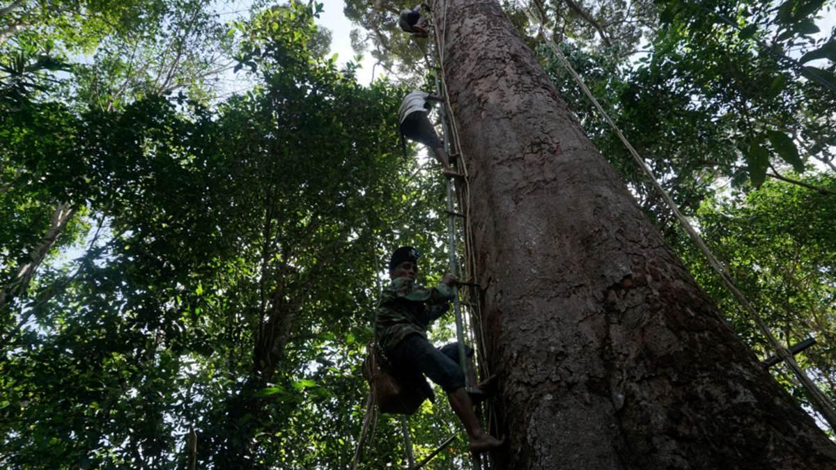 warga Dayak panjat pohon durian hutan