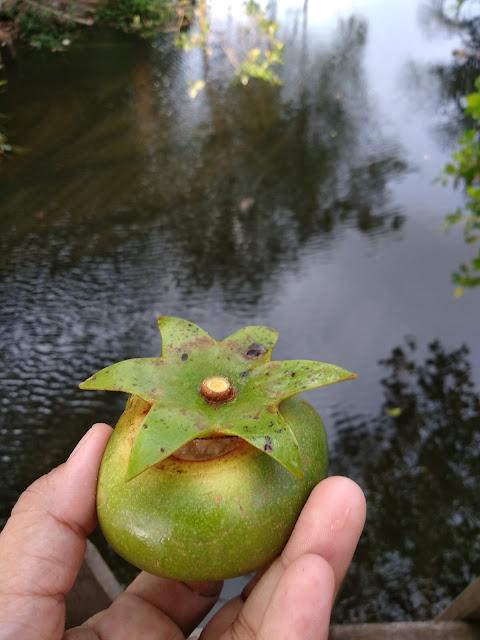 Buah unik dari hutan bakau