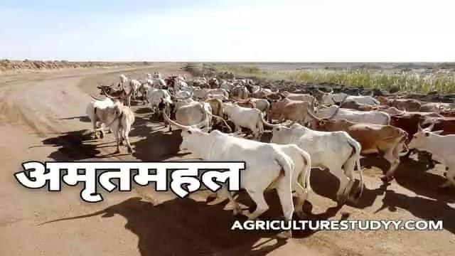 अमृतमहल नस्ल की गाय के बारे में पूरी जानकारी