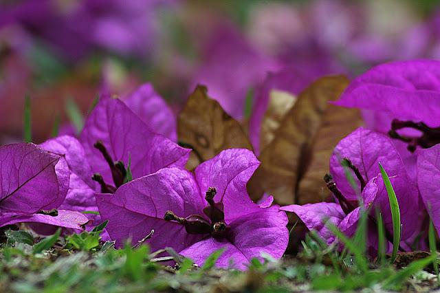 Bunga Kertas (Bugenvil)