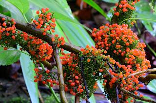 orange berries in Puriscal