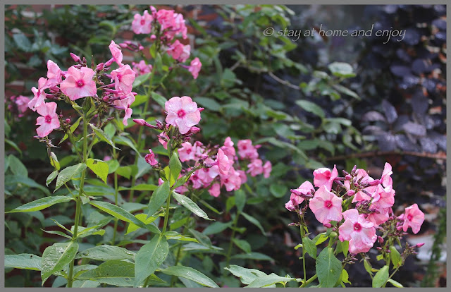 Phlox 'Ferris Wheel' - stay at home and enjoy