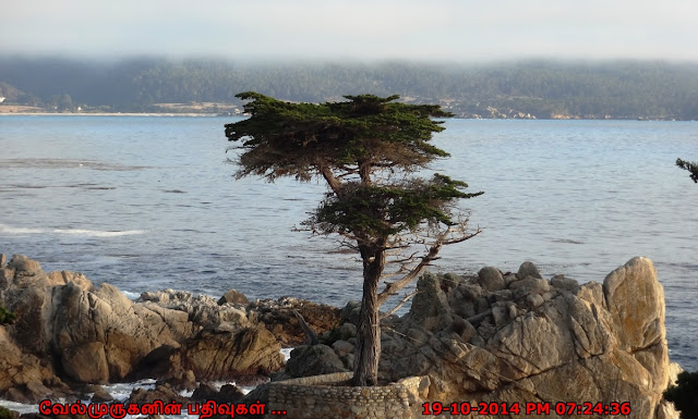 Lone Cypress in 17-Mile Scenic Drive