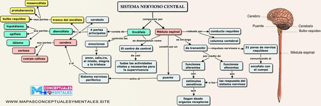 mapa conceptual del sistema nerviosos central corto con imagen
