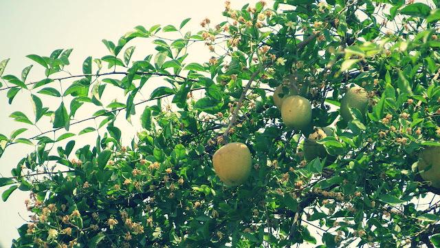 Pohon Maja Membawa Kemakmuran, Kekayaan,