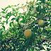 Pohon Maja Membawa Kemakmuran, Kekayaan, Dan Peruntungan