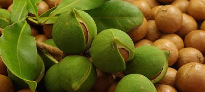 macadamia farming in kenya