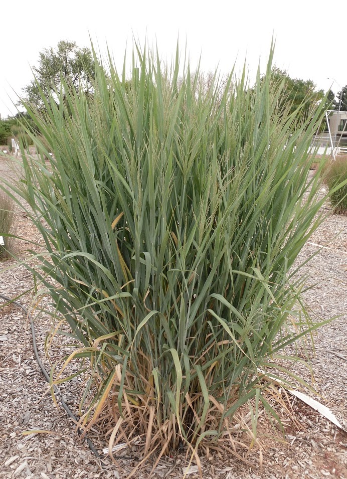 Co horts best of the national ornamental grass trials colorado edition dallas blues workwithnaturefo