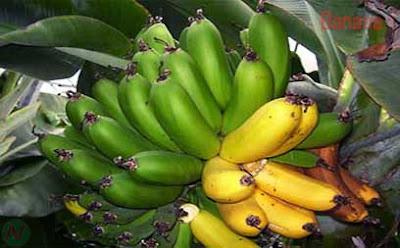 banana; banana fruit