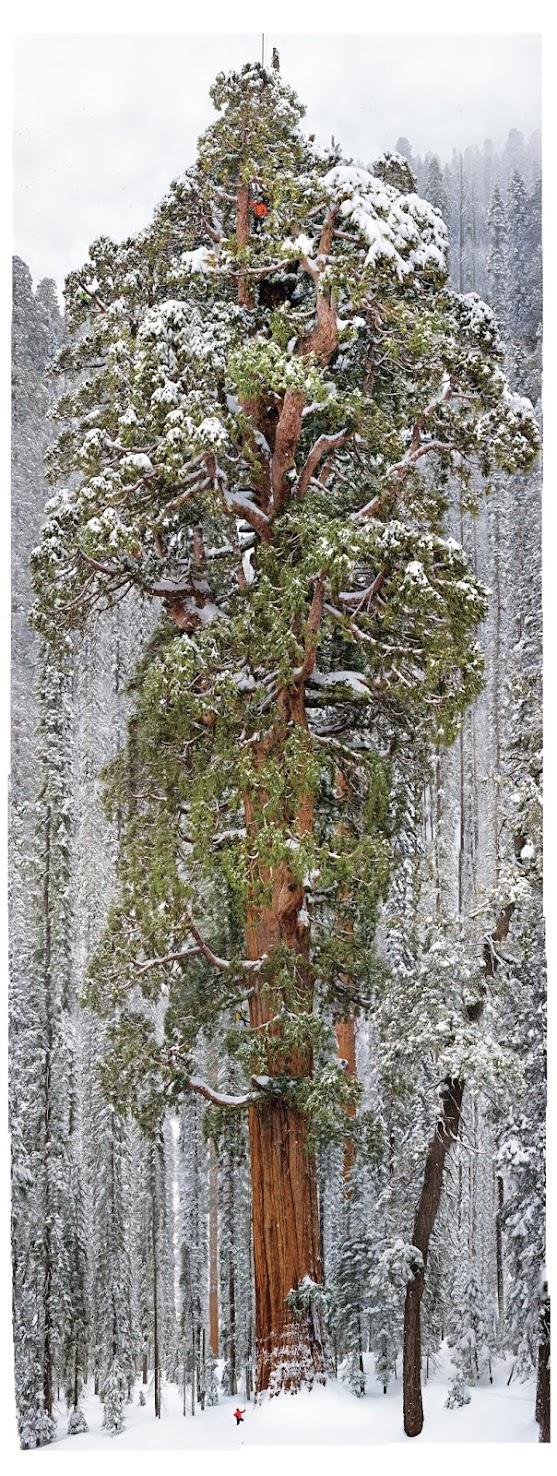 Champion Tree, Californian Redwood Trees, Grootvadersbosch Nature Reserve, Cape Nature, Hiking, Birding, Mountain Biking