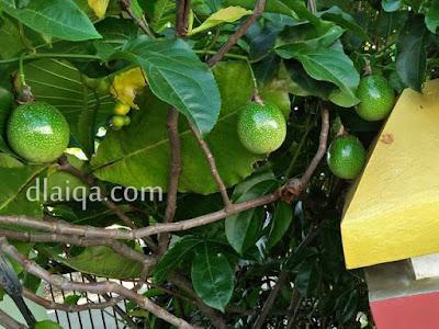 pohon markisa yang berbuah di halaman rumah