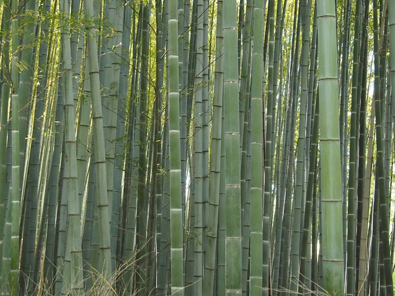 bamboo forest, bamboo forest kyoto, kyoto bamboo forest, bamboo forest in kyoto, japan bamboo forest, bamboo forest in japan,   japanese bamboo forest, arashiyama bamboo forest, bamboo forest japan, bamboo grove, bamboo japan, arashiyama bamboo grove, bamboo   in japan, japan bamboo, bamboo forest kyoto japan