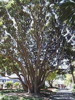 New Zealand Christmas tree - Wellington Botanic Garden, New Zealand