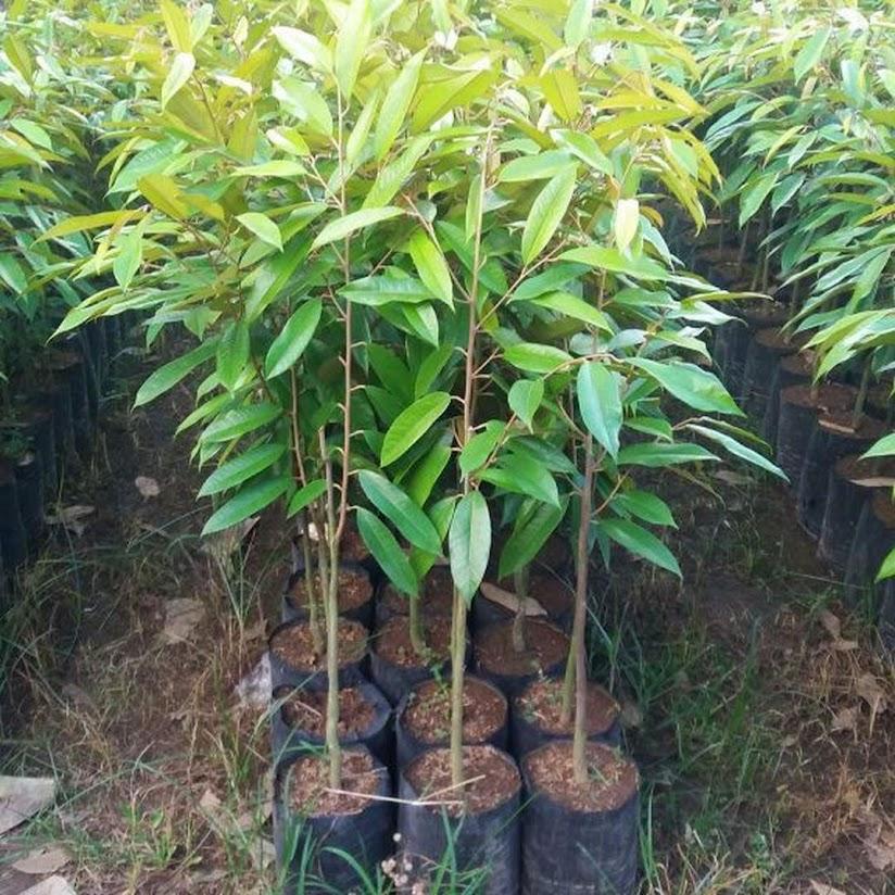 Bibit Durian Musangking Hasil Okulasi Cepat Berbuah Aceh