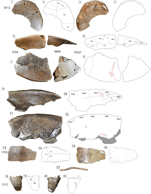 Fossil research unveils new turtle species, hints at intercontinental migrations