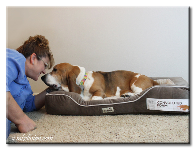 Bentley Basset giving me some kisses for his new TrustyPup bed.