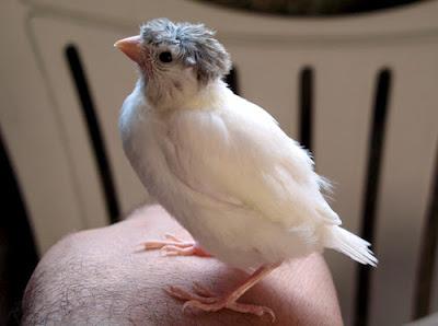 الطريقة الصحيحة لترويض طيور الحسون و الكناري ( للأكل من اليد و اللعب )