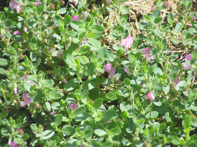 Common Restharrow Ononis repens. Indre et Loire. France. Photo by Loire Valley Time Travel.