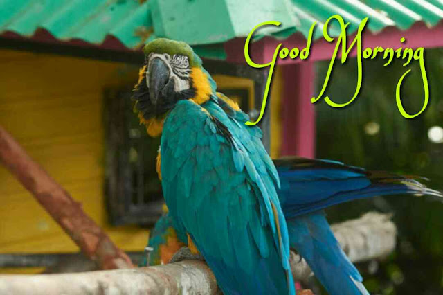 Good Morning image of Blue Macaw