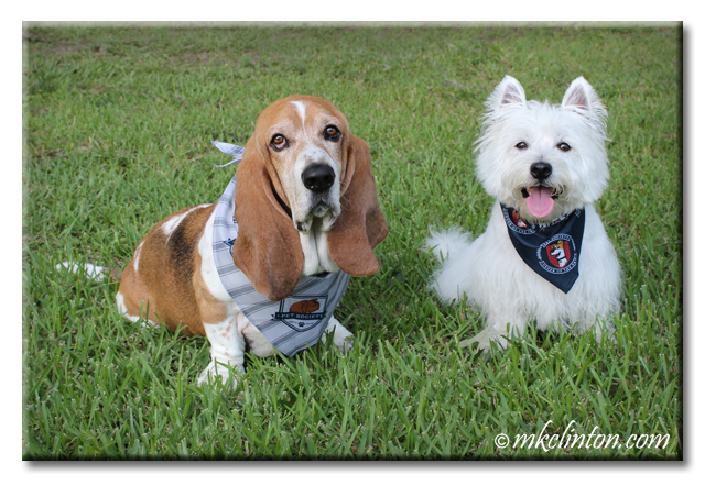 Basset Hound and White West Highland Terrier wearing The Secret Life of Pets bandanas