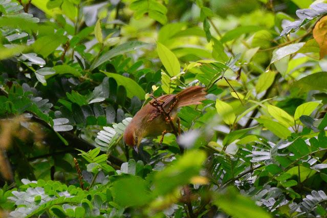 Mixornis gularis