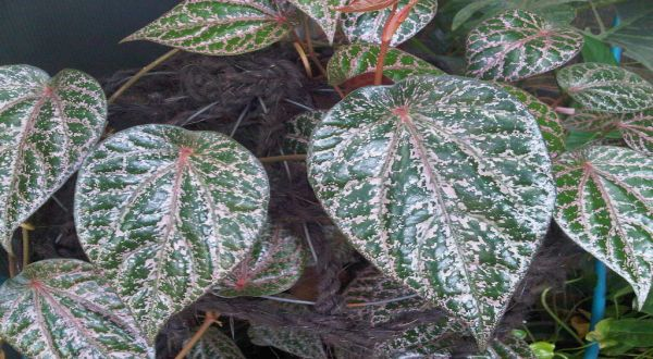 HEART DISEASE, URATIC ACID, HEMORRHOIDS, AND 20 OTHER TYPES OF DISEASES CAN BE COMPLETED BY USING RED LEAVES