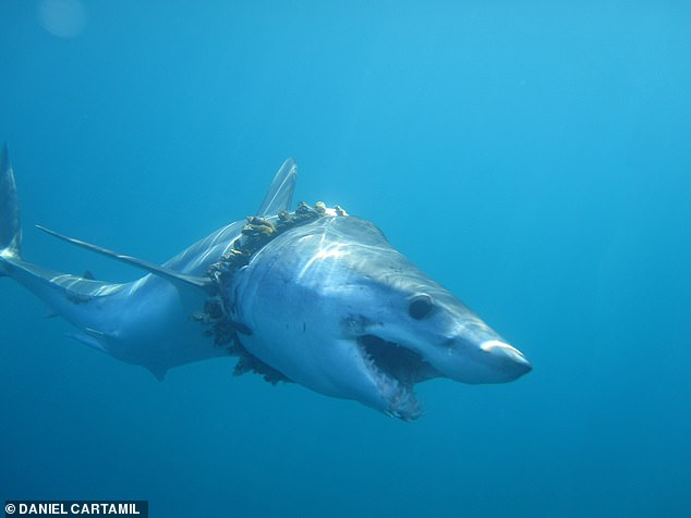 This Great White shark is being beaten by plastic waste